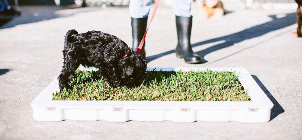 Köpeklerde tuvalet eğitimi noktasında disiplin en önemli kavramdır.