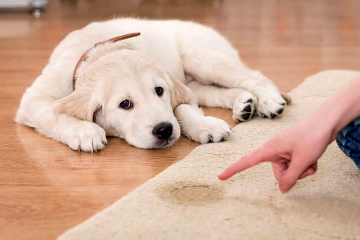 Köpeklerde tuvalet eğitimi ile ilgili tüm detaylar !