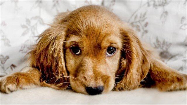 Köpeklerde beslenme süreci doğru organize edilemediği takdirde dostumuzun sağlığını da olumsuz etkileyecektir.