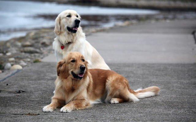 Goldenlar gerek hemcinsleri gerekse de sosyal hayattaki diğer varlıklar ile oldukça iyi anlaşırlar.