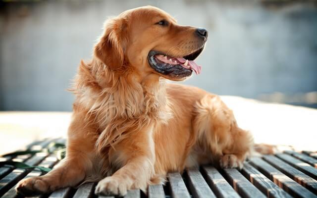 Golden köpekler, dost canlısı olmasının yanı sıra oldukça da zekidir.