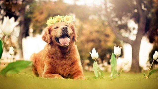 Golden köpekleri genellikle oldukça neşeli bir ırktır.