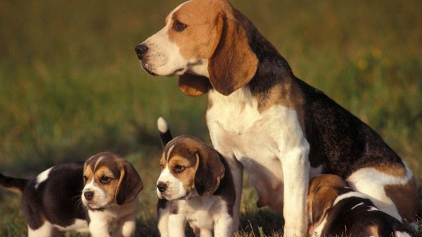 Beagle köpekleri avcı ve narkotik köpeği olarak kullanılır.