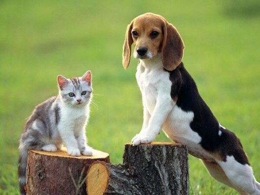 Beagler köpekler eğitildiği takdirde sosyal yaşama kolay entegre olur.