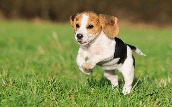 Beagle köpek ırkının egzersizleri ve oyunu ile düzenli olarak ilgilenilmesi gerekir.