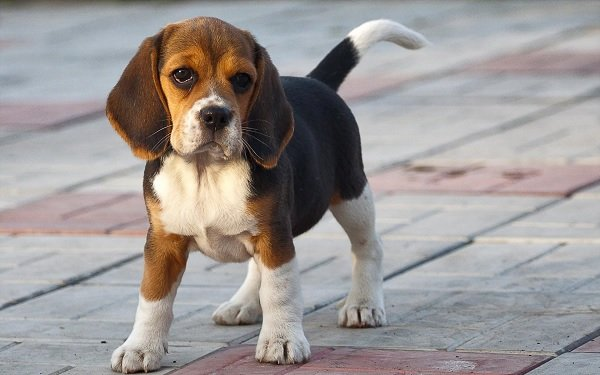 Beagle köpekleri güçlü ayakları ve sarkık kulakları ile dikkat çeker.