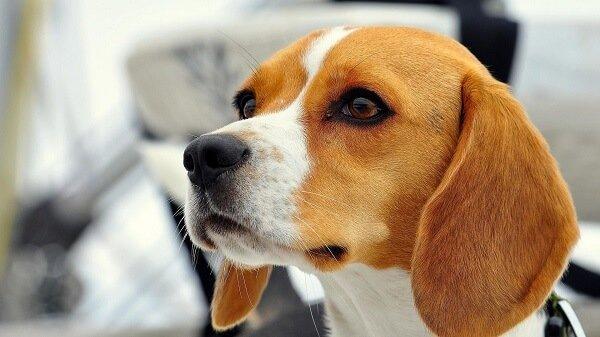 Beagle köpekler oldukça hareketli yapıya sahiptir.