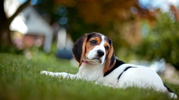 Beagle köpek ve özellikleri ile ilgili merak ettiğiniz her şey Loyal Friend'de.