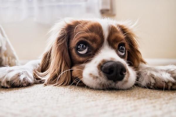 Köpeklerde halsizlik, hastalıkların temel semptomlarından biridir.