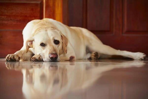 Köpeklerde iştahsızlık, ateş ve halsizlik, çoğu zaman kusma ve ishalin bir belirtisidir.