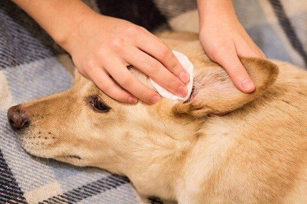 Köpeklerde sık görülen hastalıklardan biri de kulak enfeksiyonudur.