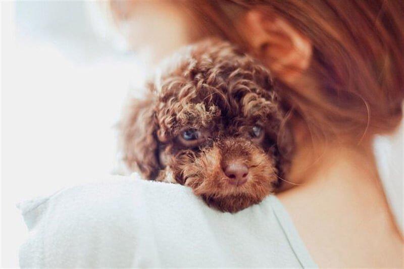 Bebek Toy Poodle köpeklerimize mümkün olan tüm hassasiyetimizi göstermeliyiz.