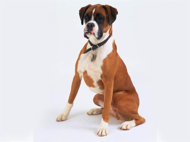 Boxer köpekler, aileye en uygun köpeklerden biridir.