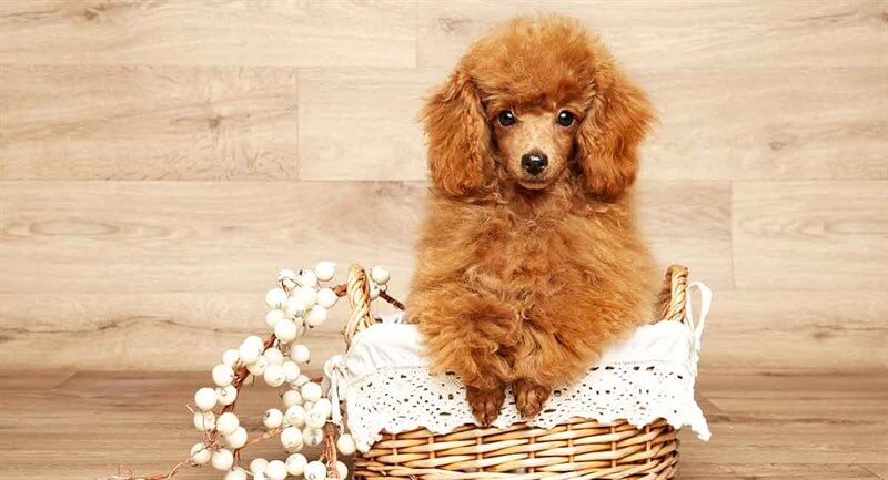 Toy Poodle köpekler, estetik yönünün yanı sıra oldukça kıvrak bir zekaya sahiptir.