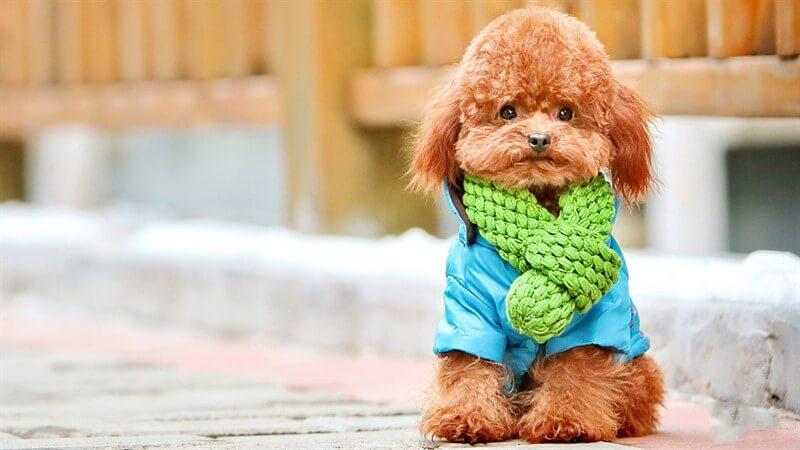 Toy Poodlar köpekler tam anlamıyla bir eğitim sürecinden geçtiklerinde, sosyal yaşama tümüyle entegre olurlar.