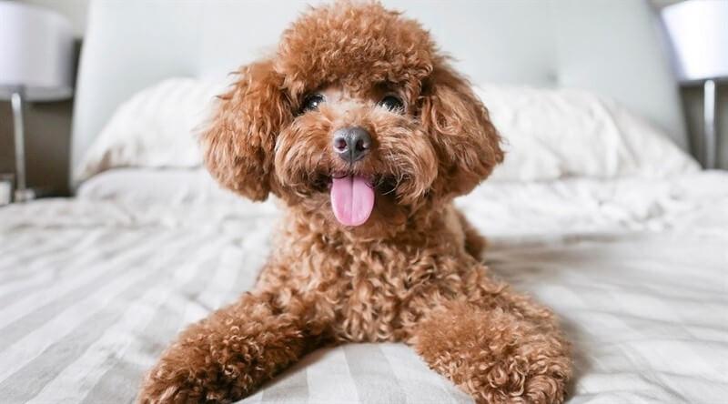 Toy Poodlelar dostlarımız, kısa süre içerisinde yaşamımızın neşesi haline gelecektir.