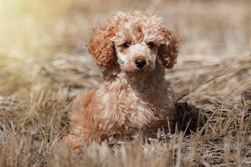 Toy Poodle köpekler oldukça zeki hayvanlardır.