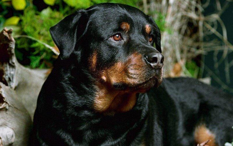 Rottweiler köpeklerin bakımında; beslenme, hastalıklar karşısında gösterilecek reaksiyon ve hijyen temel noktaları oluşturur.