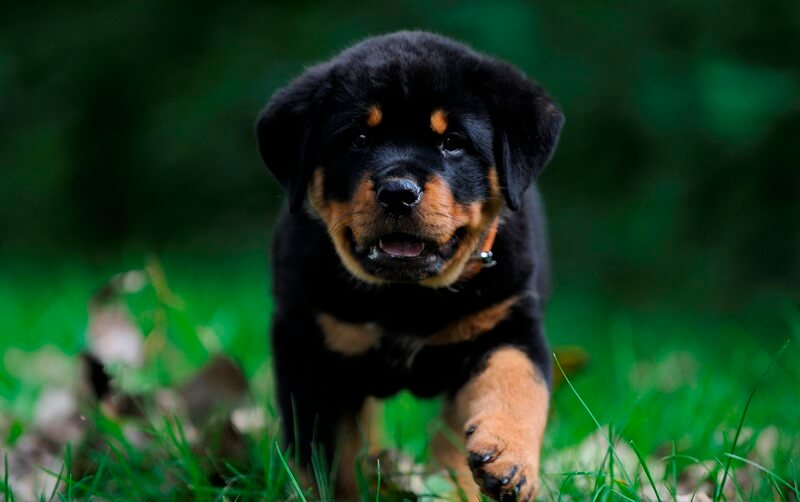 Rottweiler köpeklerin eğitim sürecinde uzman ve profesyonel bir eğitmenden yardım alınması gerekir.