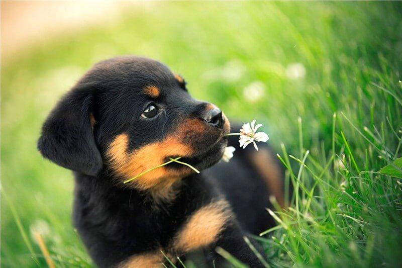 Rottweiler köpeklerde eğitim sürecine yavruluk döneminde başlanması tavsiye edilir.