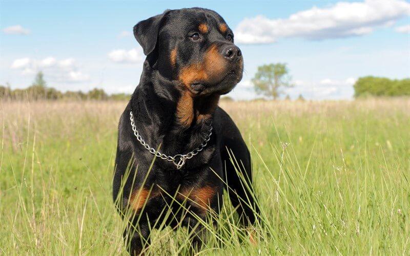 Rottweiler köpek ırkı, toplum arasında bilinenin aksine saldırgan bir ırk değildir.