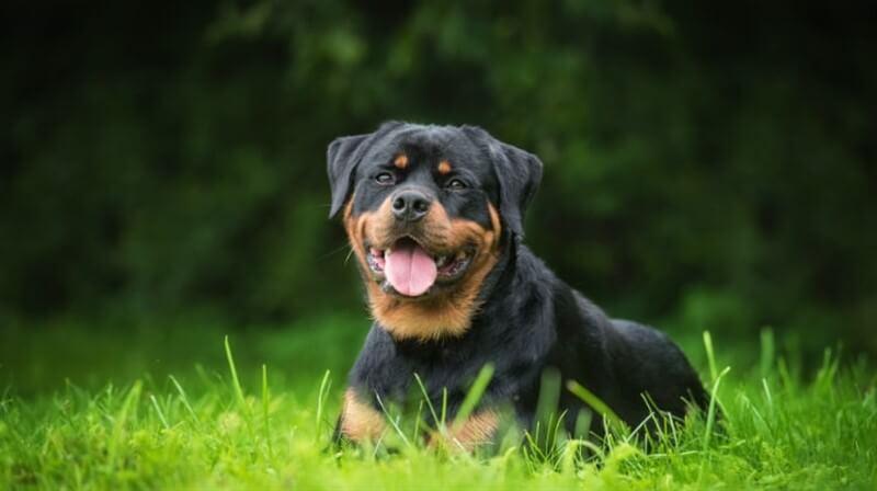 Rottweiler köpek ırkı fiziksel yapısı ile hayli dikkat çeker.