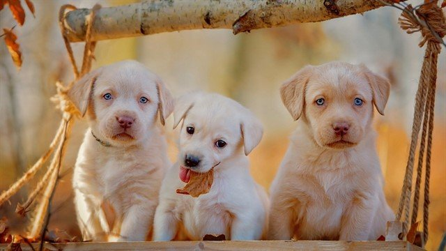 Labrador Retriever dostlarımız, en sevecen köpek ırklarının başında gelir.