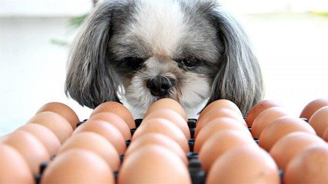 Köpekler, tercihe bağlı olarak çiğ ya da haşlanmış yumurta tüketebilir.