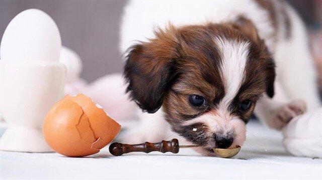 Köpeklerin ne sıklıkla yumurta yiyebileceğini öğrenmek için veteriner hekimlere danışmamız gerekir.