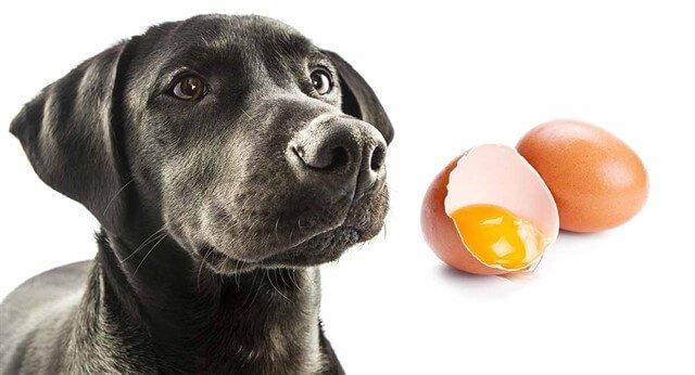 Köpekler, belirli periyotlarla yumurta yiyebilir.