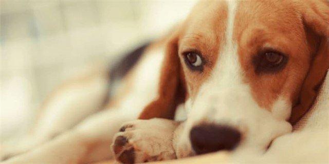 Köpeklerde gençlik hastalığı; tükürük, kan ve idrar yoluyla bulaşır.