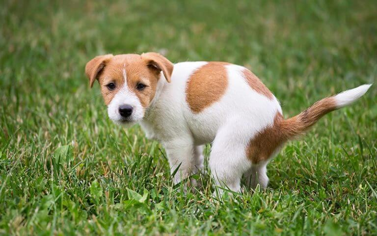 Köpeklerde ishal, oldukça ciddiye alınması gereken bir hastalıktır.
