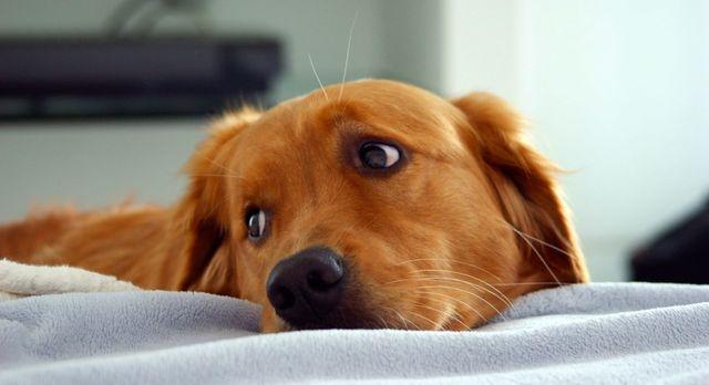 Köpekler evde birkaç saatliğine yalnız kalabilir.
